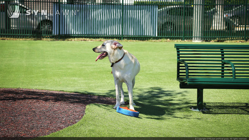 : Dog Looks Around in Dog Park, Guarding His Frisbee on Artificial Turf Next to a Bench