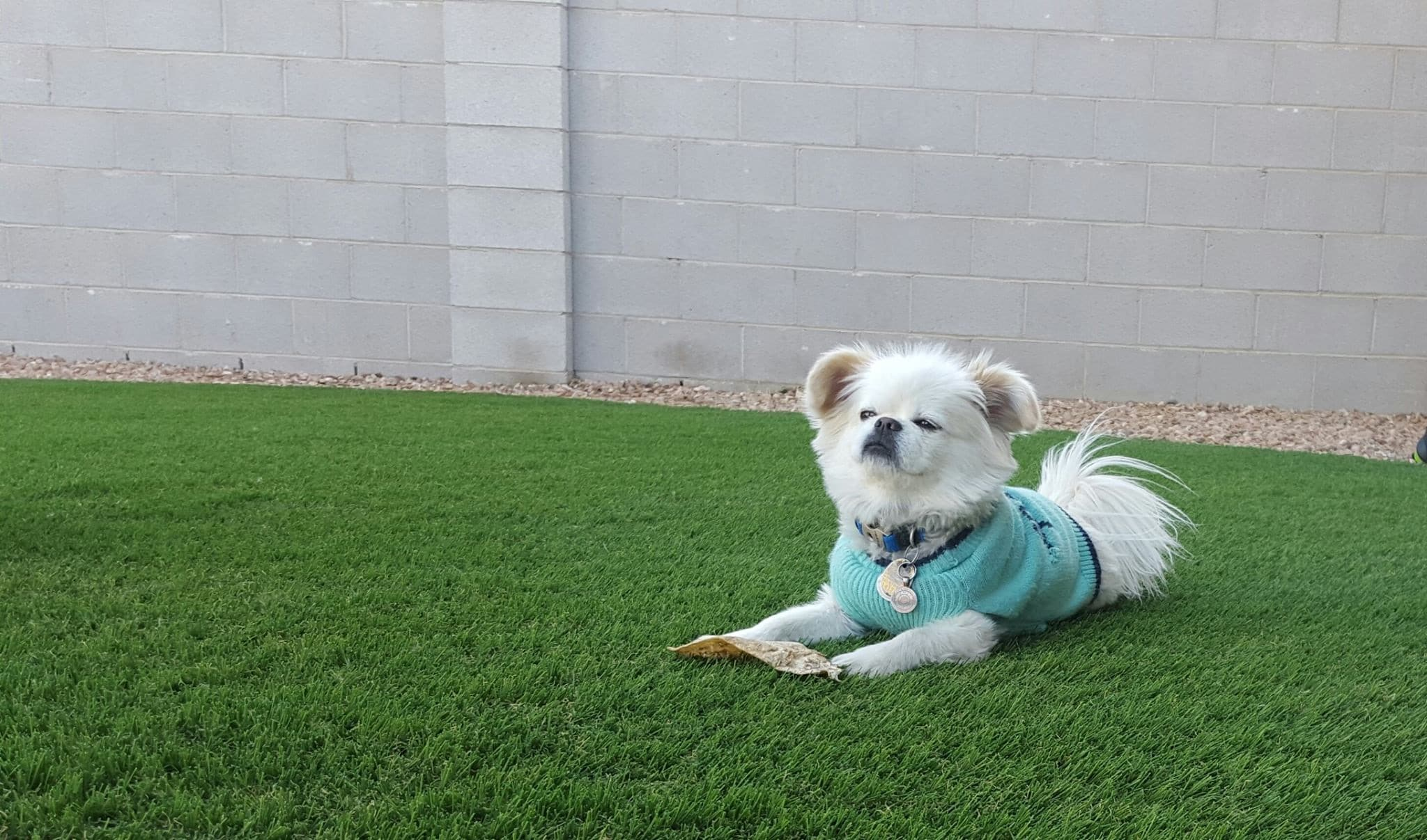 A Small Dog in a Blue Sweater Relaxes on Artificial Grass for Dogs